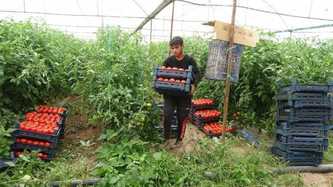 Isparta'da yayla şartlarında domates hasadı