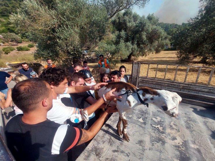 Marmaris'teki yangında 5'inci gün; 35 keçi yanmaktan kurtarıldı