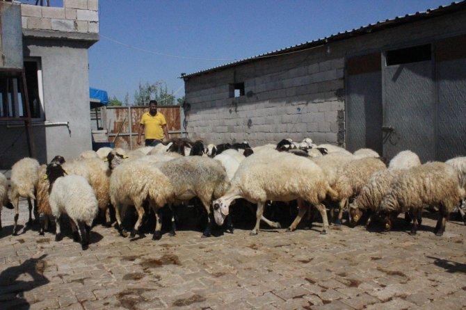 Çaldığı koyunları satarak parasını gazinoda yedi