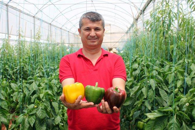 Paprika biberi kilosu 13 liradan hasat edildi
