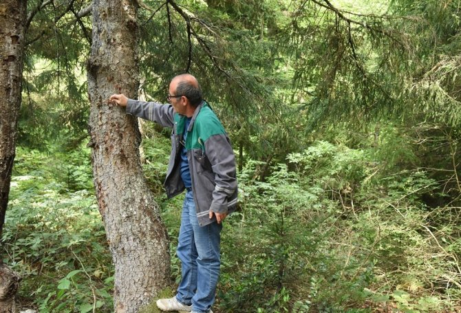 Artvin'de 50 bin 'Terminatör' avcı böcek zararlı böceklerle mücadele kapsamında ormanlara bırakıldı
