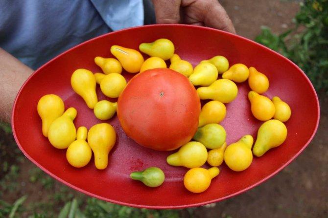Armut değil domates