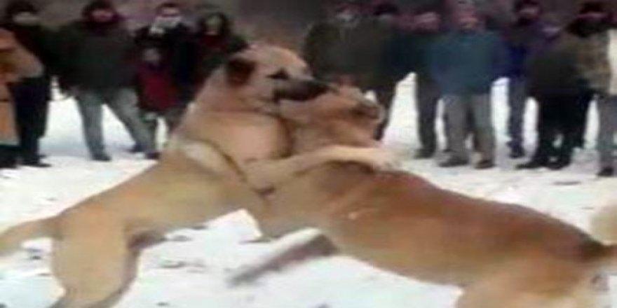 Konya'da köpek dövüştüren ve bahis oynayan 17 kişiye para cezası