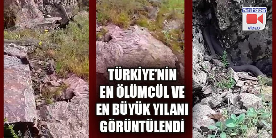 Türkiye'nin zehri en ölümcül ve en büyük yılanı Muş'ta görüldü