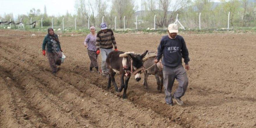 Konya'da eşeklerle tarım günümüzde de revaçta