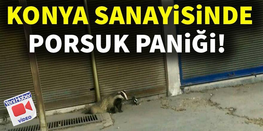 Konya'da porsuk paniği