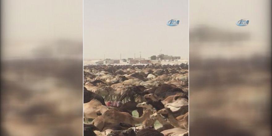 Suudi Arabistan, Katar develerini sınır dışı etti