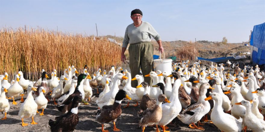 70 yaşında organik ördek çiftliği kurdu